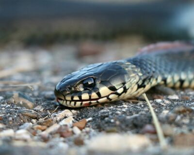 Il morso di serpente aggiunto alla lista delle Malattie Tropicali Neglette